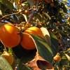 加古川みとろ観光果樹園で柿狩り体験
