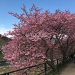 河津桜まつり!静岡県賀茂郡河津町の早咲桜で花見をしよう