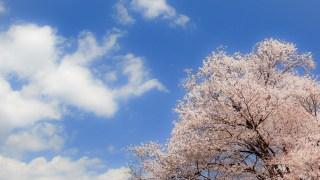 堀切峠のお花見!山桜の名所へ行こう!