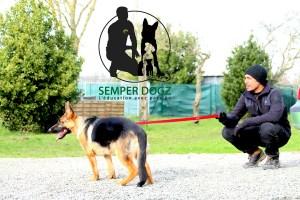 Semper-Dogz---éducateur-canin-nantes-cholet----berger-allemand