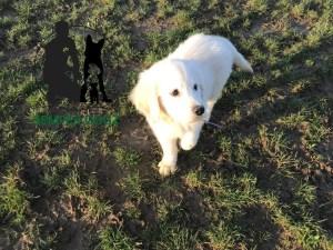 Semper-Dogz---éducateur-canin-nantes-cholet---chiot-golden-retriever