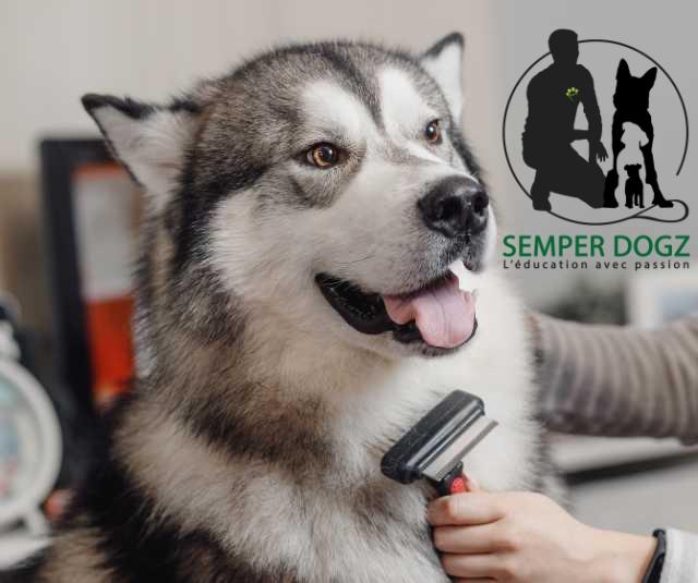 Semper Dogz - éducateur canin nantes cholet - brosser le chien