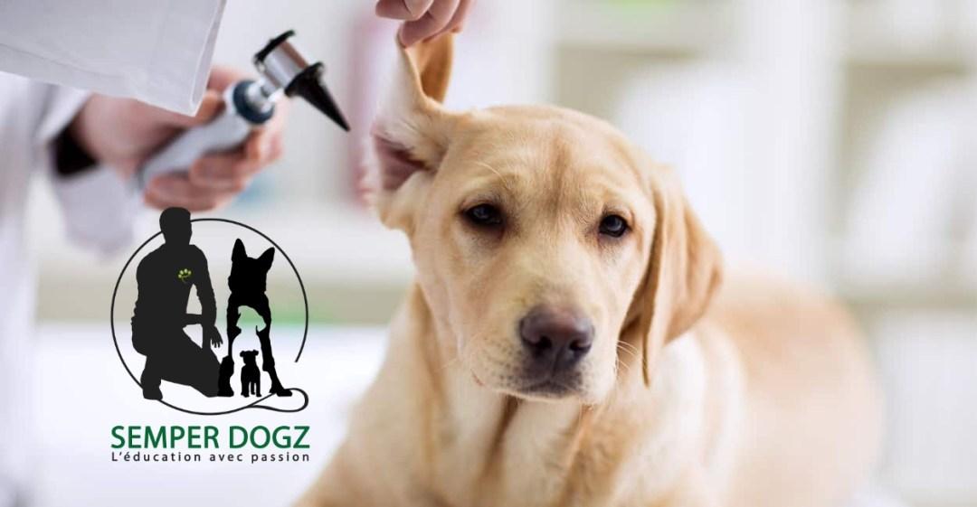 Semper Dogz - éducateur canin nantes cholet - nettoyer les oreilles