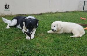 Semper-Dogz-éducatur-canin-nantes-cholet---golden-retriever-et-chien-créole