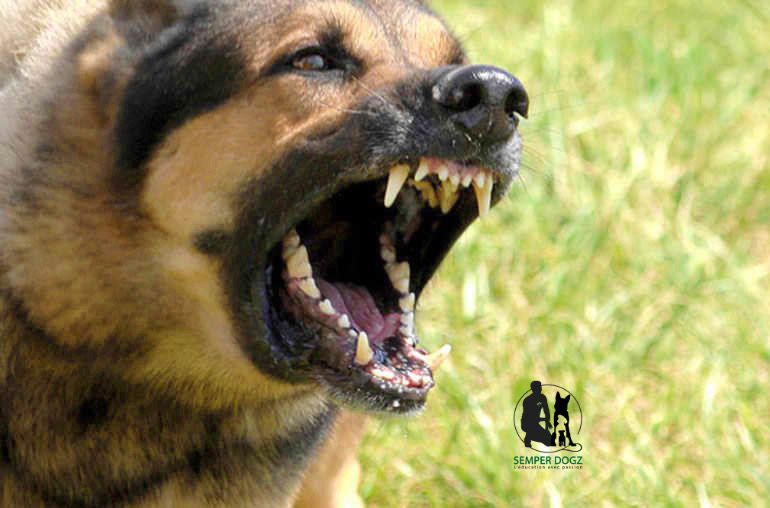 Le chien mordeur : que dit la Loi?