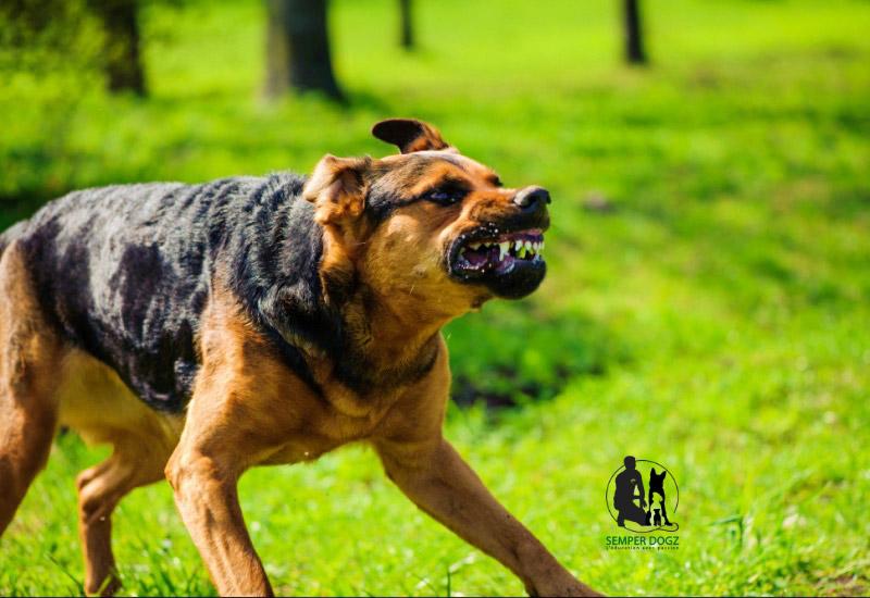 Le chien mordeur : quelle attitude adopter ?