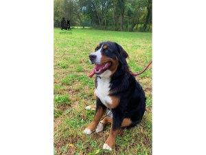 Semper-Dogz-éducateur-canin-nantes-cholet-balade-éducative-Pookie