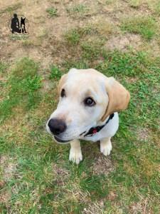 Semper-Dogz---éducateur-canin-nantes-cholet---chiot-labrador-Ruby