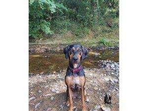 Semper-Dogz-éducateur-canin-nantes-cholet-croisée-beauceron-Roxane