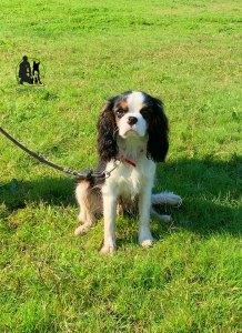 Semper-Dogz-éducateur-canin-nantes-cholet-balade-éducative-Ron