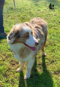 Semper-Dogz-éducateur-canin-nantes-cholet-balade-éducative-Ryder