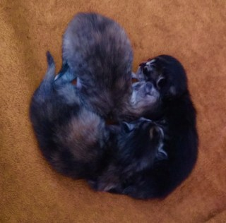Zhaklin's babies (This is a close-up so they appear larger than Maggie's but all kittens are very close in size.