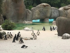 Pinguini sudafricani al bioparco Zoom