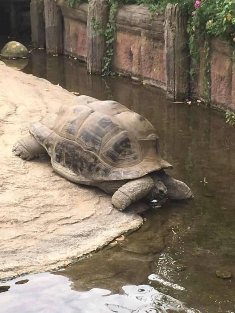 Tartaruga gigante delle Galapagos al Bioparco Zoom
