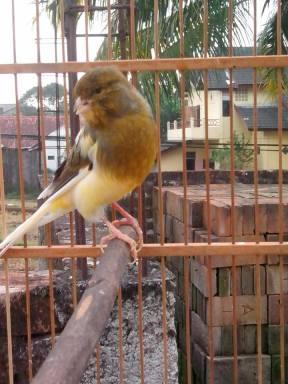 senandung bird farn