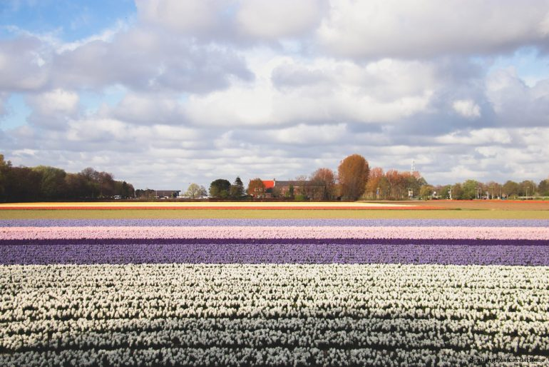 Exploring the tulip fields in Amsterdam, Netherland 1