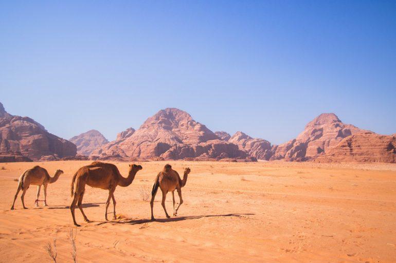 Camels in Jordan's stunnning desert