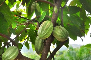 Cocoa communities in Ashanti and Ahafo regions are not accessing farm inputs from markets due to lockdown in Greater Kumasi