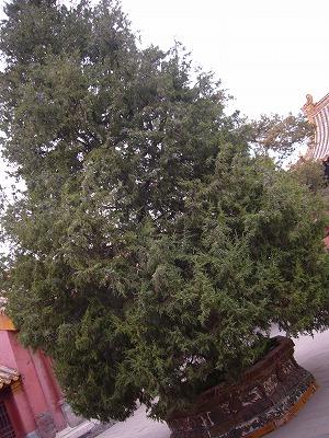 景仁宮でしか見なかった大きな木