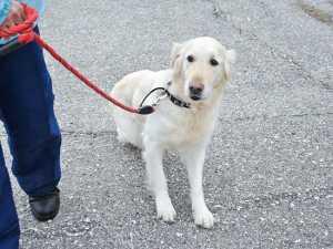 Get Comfortable Leashing Training An Older Dog