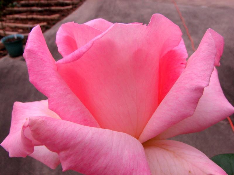 RosePinkPromise09103001