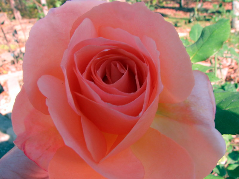 RoseApricotNectar09110401