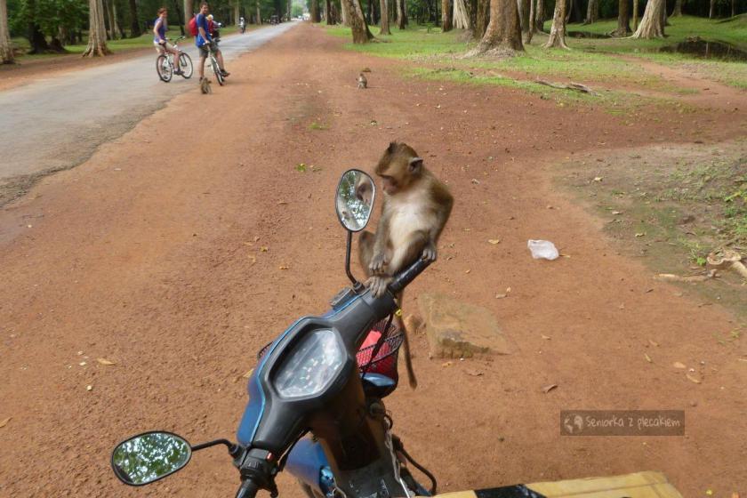 Małpy w kompleksie Angkor w Kambodży