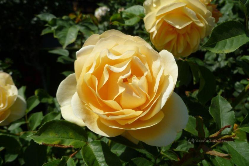 Róża w wiedeńskim ogrodzie
