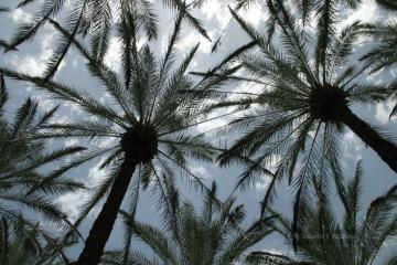 Palmy w Izraelu w kibucu Ein-Gev