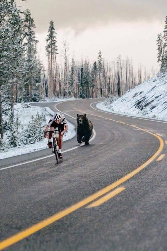 Road Yellowstone Bear