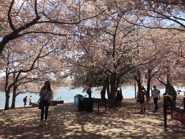 Cherry Blossoms in Washington, DC