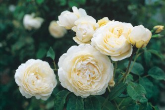 White roses have a reputation for being fragile. Not so ÔWindermereÕ, an easy-to-grow white English Rose from David Austin. The shapely blooms open with rich cream-colored petals that mature to nearly pure white. Despite its ethereal good looks, this rose is strong and healthy in the garden, handling widely varied growing conditions with ease. The flowers have a delicious, strong fruity fragrance with a hint of citrus. The bush is neat and compact, blooming freely until very late in the season. It has strong, nearly thornless stems, making it a good source for cut flowers. It grows to 4 ft tall x 3 ft wide. (David Austin 2007, Aushomer).