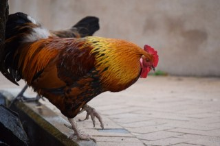 rooster-2498527_1920