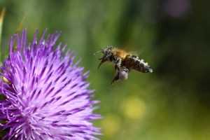 bee, pollination, thistle