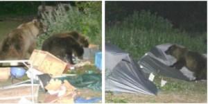 Bears and camping