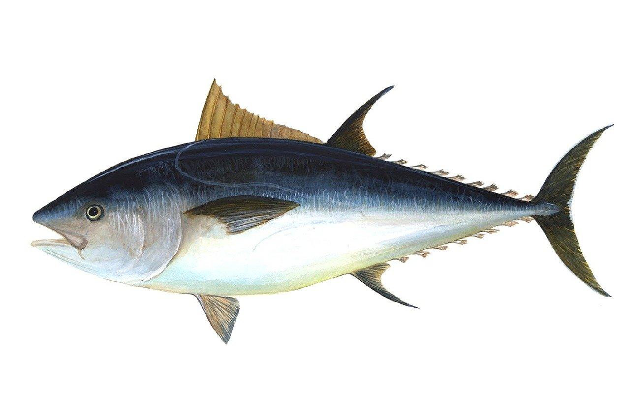 На Курилах выловили почти двухсоткилограммового голубого тунца