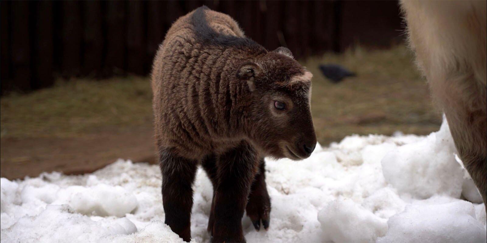 В Московском зоопарке появился на свет детёныш сычуаньского такина