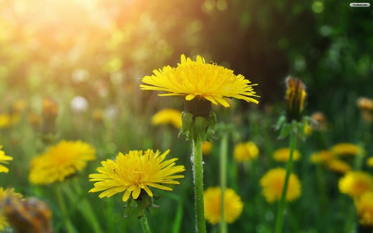 yellow-dandelion-drawing-wallpaper-1