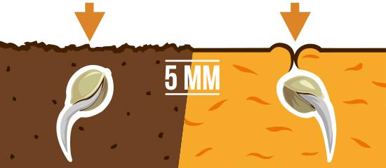 Coloca tu semilla en el hoyo (primero la raíz ) y cúbrela.