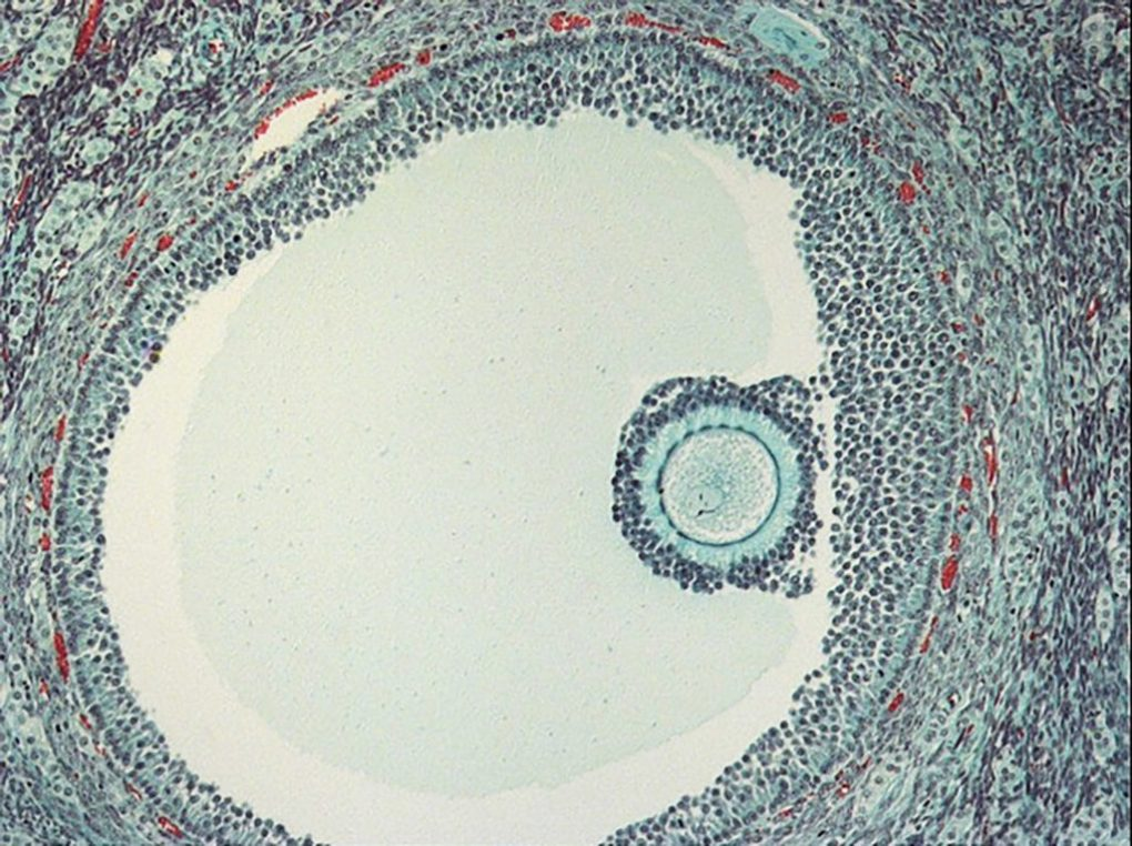 Anandamide is present in high levels during oogenesis and ovulation