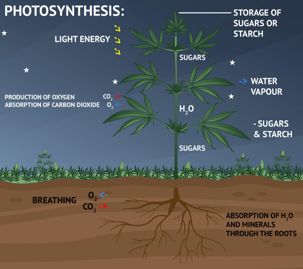 Photosynthesis The Dark Phase
