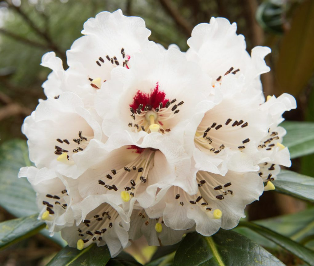 The Chinese rhododendron has been shown to contain CBC or related compounds