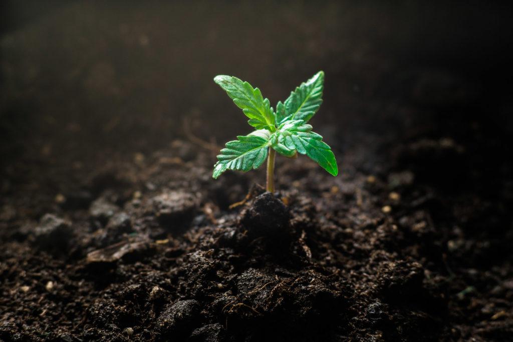 大麻の苗の段階を示すクローズアップ写真。 典型的な花びらと色をした小さな若い苗大麻植物は、土から育ちます。