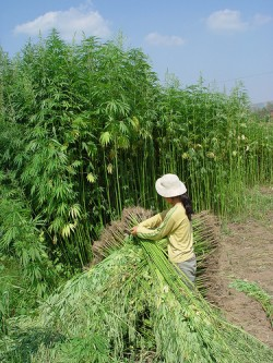 2 - The dominant cannabinoid found in industrial hemp is CBD