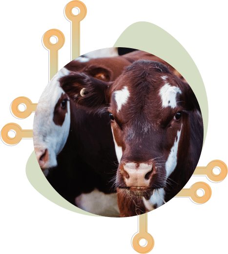 Cow herd with tracking tags on ear