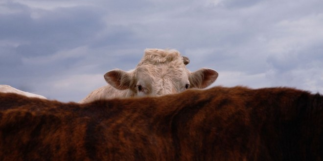 cow-skin