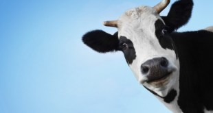 cow-with-closeup-face-funny-wallpaper