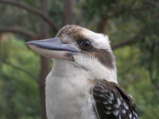 kookaburra music