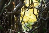 hazel tree meaning