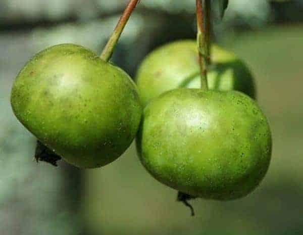 wild apple ogham
